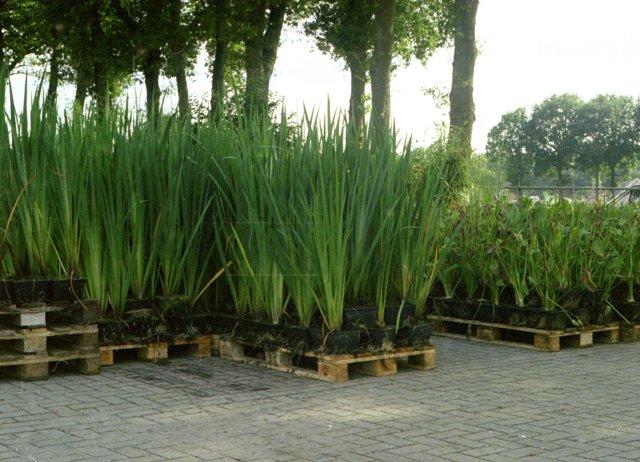 Grote volwassen oeverplanten vijverflora hellendoorn for Zwemvijver benodigdheden