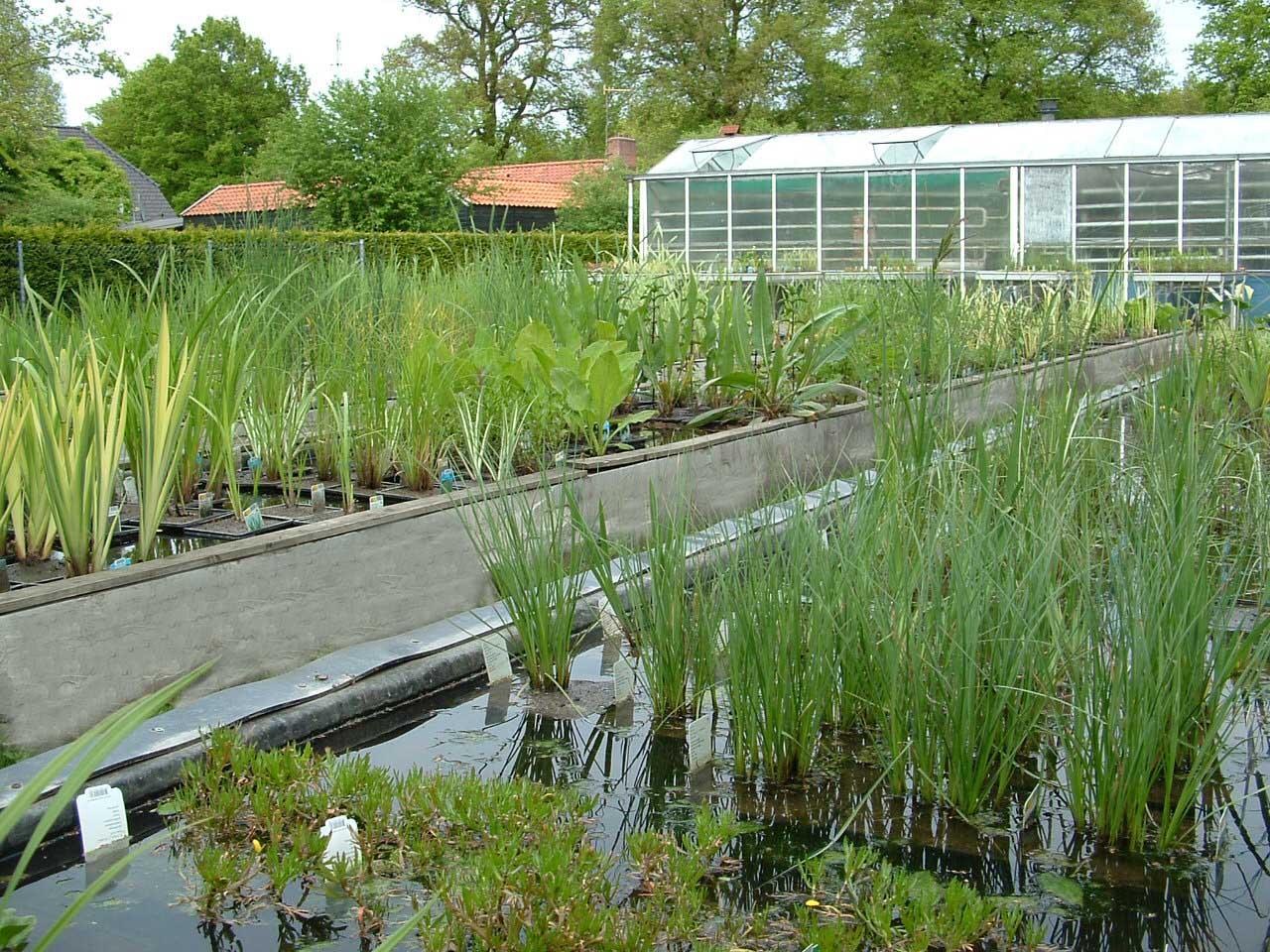 En hier de 39 grote 39 planten in mand vijverflora hellendoorn for Zwemvijver benodigdheden