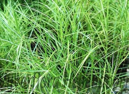 Palmbladzegge