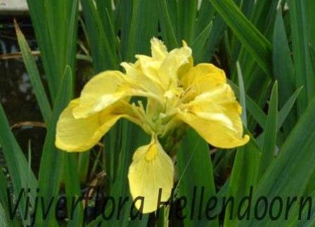 Dubbelbloemige gele lis