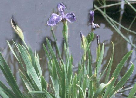 Paars-rode iris