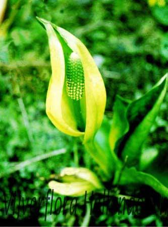 Gele aronskelk