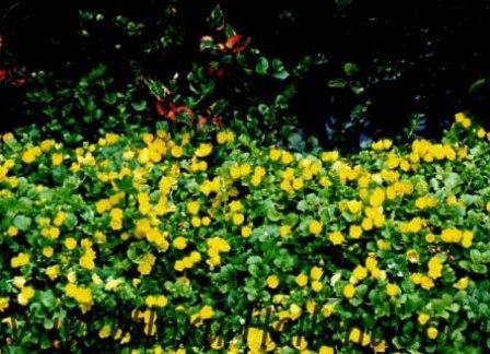 Penningkruid vijverflora hellendoorn for Zwemvijver benodigdheden