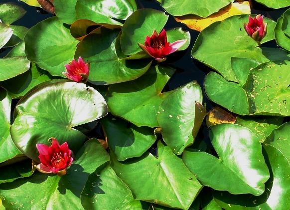Rode waterlelie