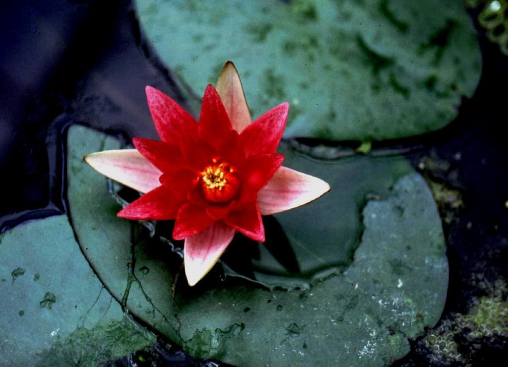 Rode dwergwaterlelie
