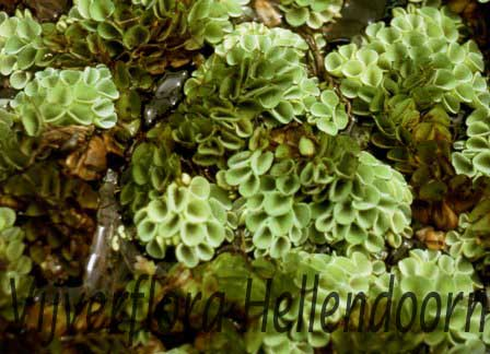 Vlotvaren vijverflora hellendoorn for Zwemvijver benodigdheden