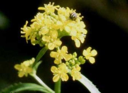 Gele waterkers