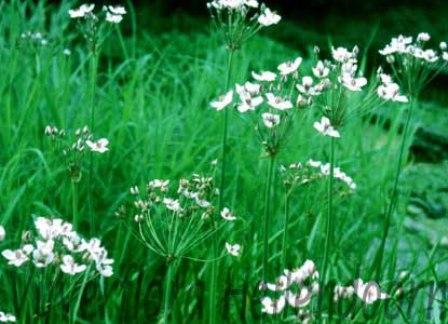 Witte zwanebloem