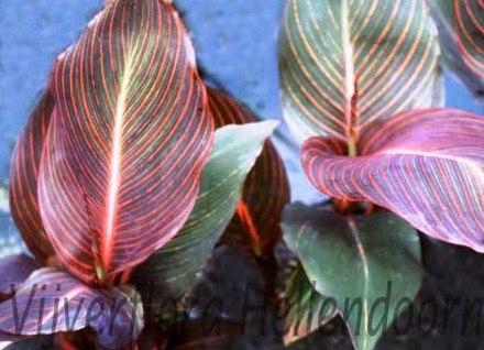 roodbladige canna