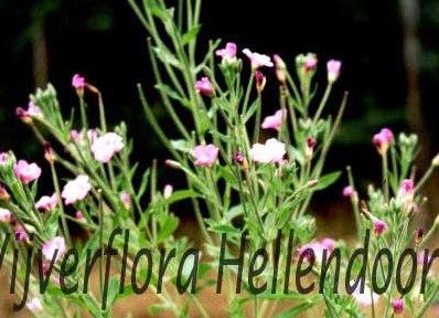 Harig wilgeroosje vijverflora hellendoorn for Zwemvijver benodigdheden