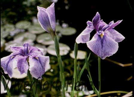 donkerblauwe japanse iris