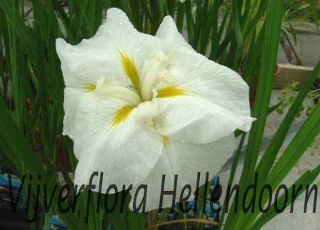 Witte Japanse iris