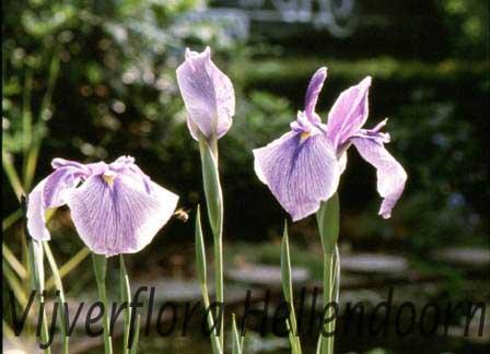 Japanse iris