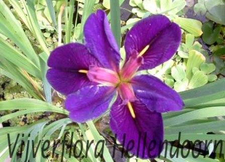 paarse louisiana iris