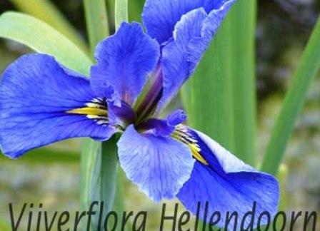 blauwe louisiana iris