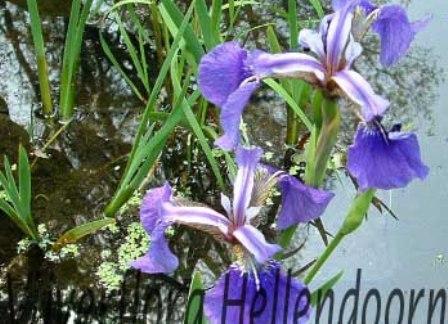 Amerikaanse blauwe lis vijverflora hellendoorn for Zwemvijver benodigdheden