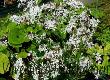 Witte koekoeksbloem