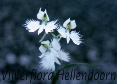 Witte franje orchidee